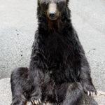 リラックス座り熊