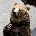 ちょうだいお願い熊