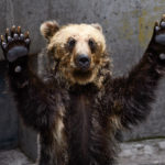 ばんざい熊